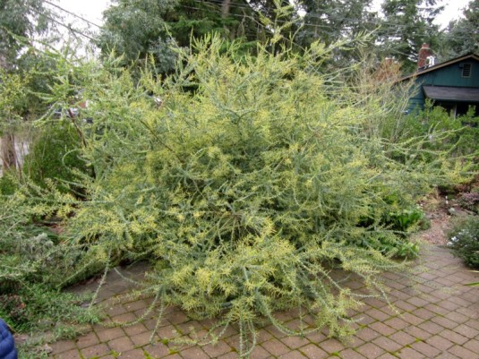 At Arbor Heights Botanic Gardens, this Acacia pravissima was loaded with buds.